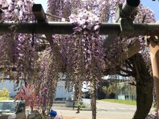 藤の花が開花しました